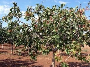 pistachio_tree_1